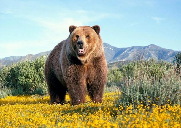 В Томской области медведи вышли из спячки
